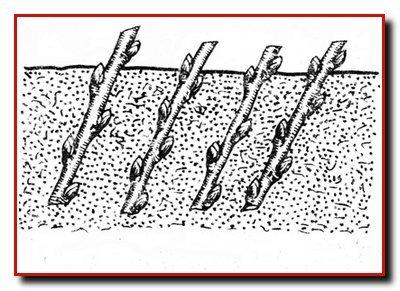 Особенности выращивания посадочного материала.