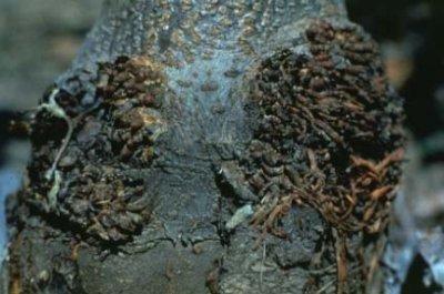 Болезни косточковых культур. Гомоз,  Клястероспориоз