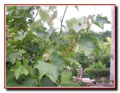 Болезни косточковых культур. Курчавость листьев, мучнистая  роса.