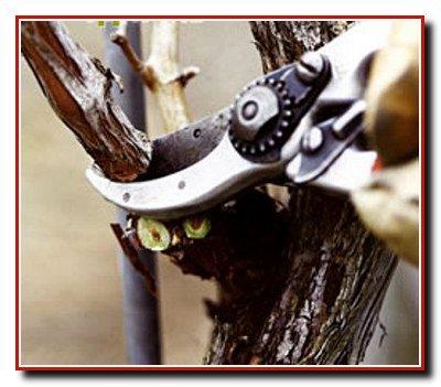 Обрезка косточковых деревьев
