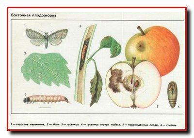 Вредители косточковых. Восточная плодожорка. Вишневая муха