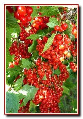 Ягодные культуры.Красная и белая смородина.
