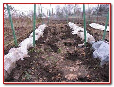 Защита виноградных кустов от морозов, вредителей и болезней