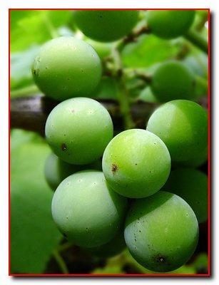 Летний цикл развития  виноградного растения
