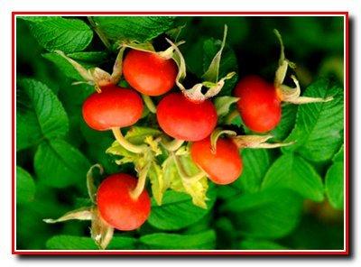 Шиповник (дикая роза)