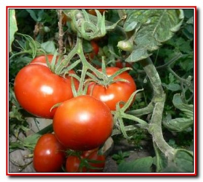 Смена  овощных культур на участке. Сбор семян.