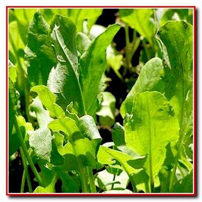 Зеленые культуры. Салат, шпинат, щавель.
