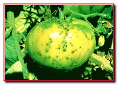 Болезни помидоров и  других  паслёновых культур