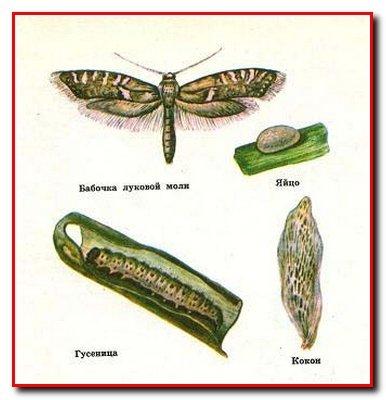 Вредители лука и чеснока