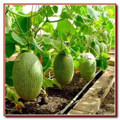 Выращивание дынь и арбузов в теплицах.