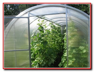 Выращивание огурцов в пленочных теплицах