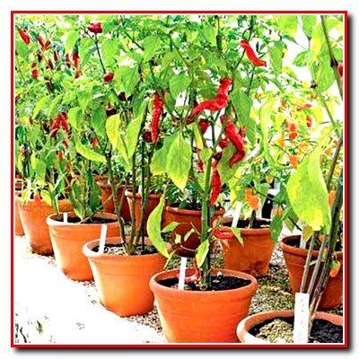 Выращивание перца в теплицах. Сорта для выращивания