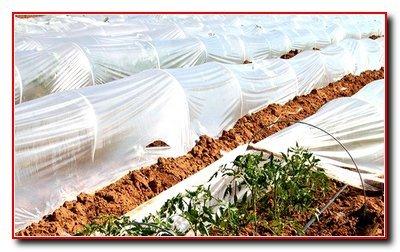 Выращивание помидор под временными пленочными укрытиями.