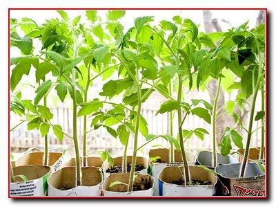 Выращивание помидоров в пленочных теплицах
