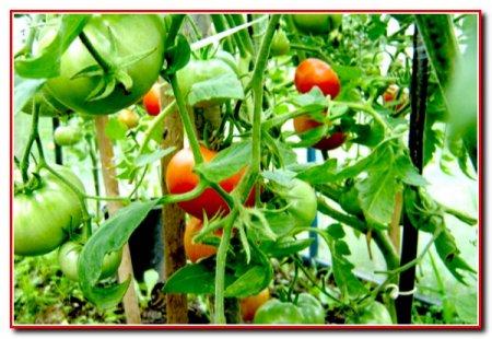Выращивание помидор в пленочных теплицах 2