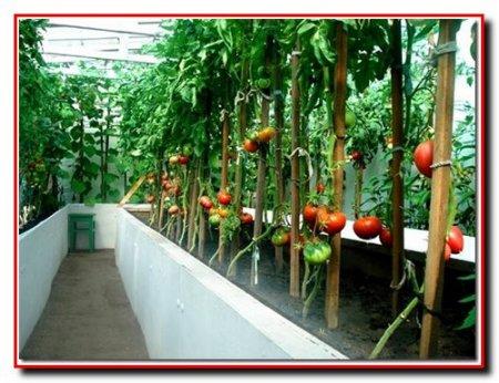 Выращивание помидоров в зимних отапливаемых теплицах
