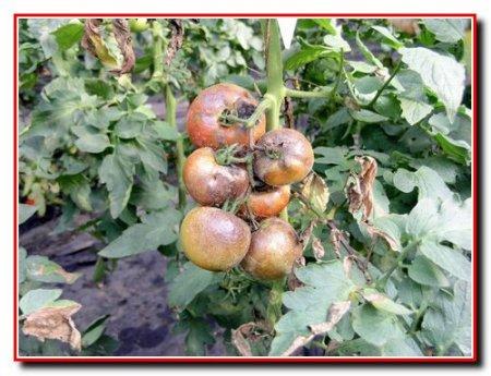 Защита помидор от болезней и вредителей