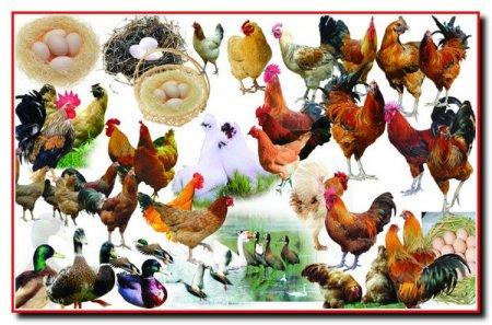 Отбор, убой и обработка домашней птицы