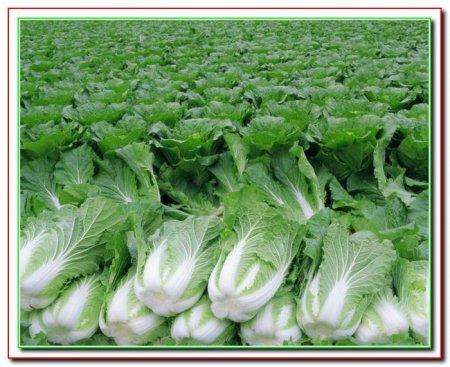 Выращивание пекинской капусты