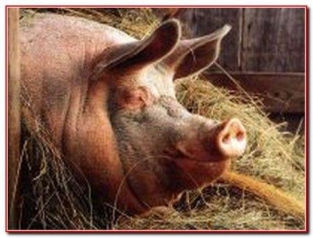Выращивание свиней на дачном участке