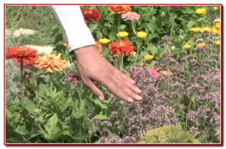 Лекарственные растения на дачном участке