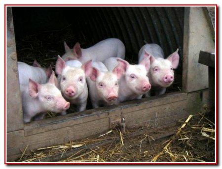 Содержание свиней без уборки навоза